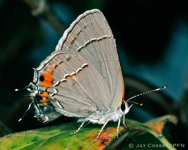 6_Hairstreaks